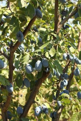 prune aproape coapte
