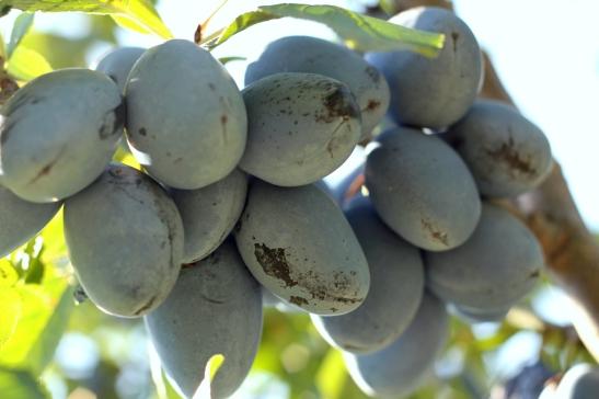 recolta bogata de prune