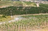 plantatii noi de vie Liliac